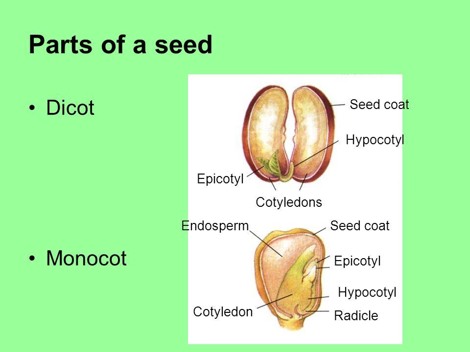 Parts of a seed Dicot Monocot Seed coat Epicotyl Cotyledons Hypocotyl Seed coatEndosperm Epicotyl Hypocotyl Radicle Cotyledon
