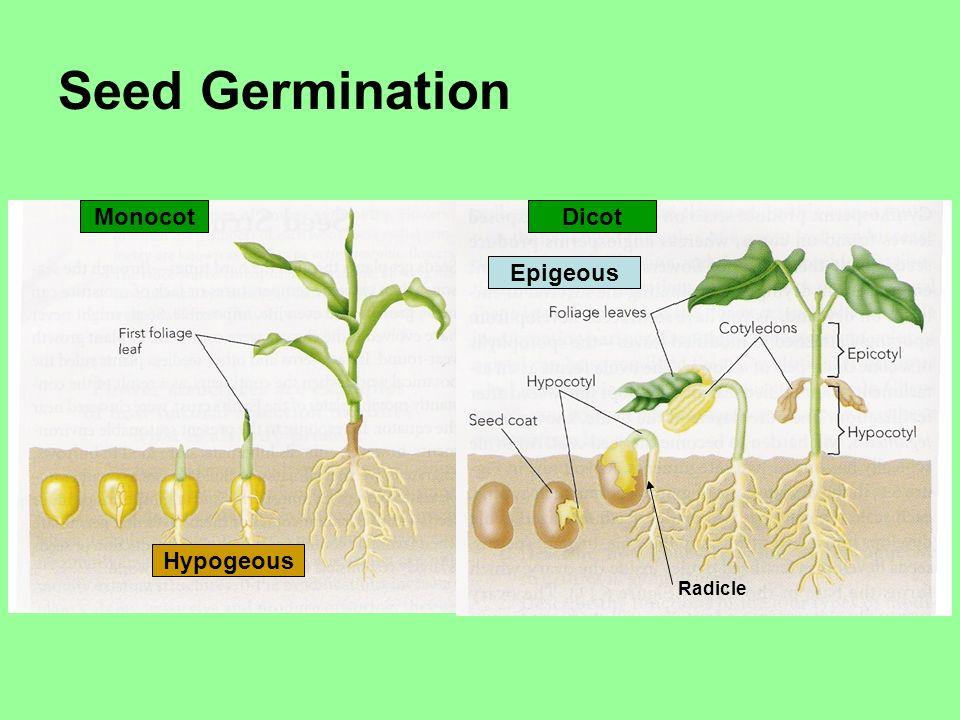 Seed Germination MonocotDicot Hypogeous Epigeous Radicle