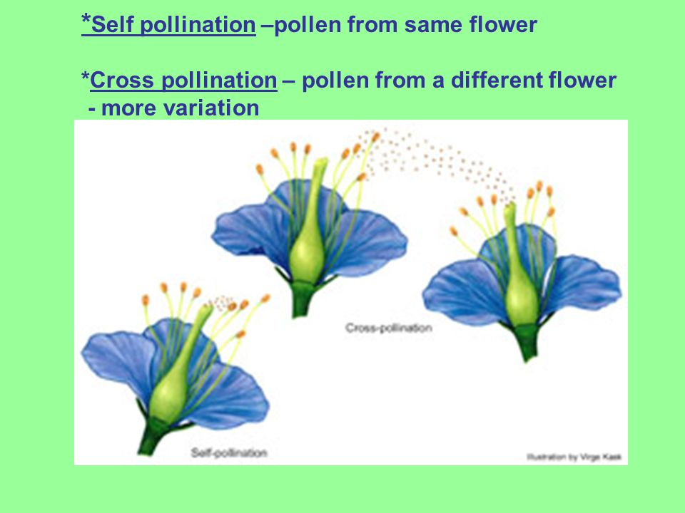 * Self pollination –pollen from same flower *Cross pollination – pollen from a different flower - more variation