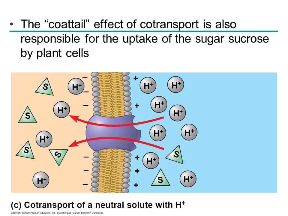The coattail effect of cotransport is also responsible for the uptake of the sugar sucrose by plant cells H+H+ H+H+ H+H+ H+H+ H+H+ H+H+ H+H+ H+H+ H+H+
