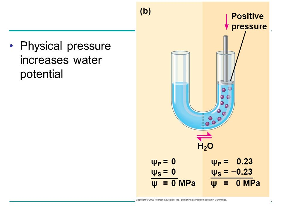 Physical pressure increases water potential (b) Positive pressure H2OH2O ψ P = 0.23 ψ S = 0.23 ψ P = 0 ψ S = 0 ψ = 0 MPa