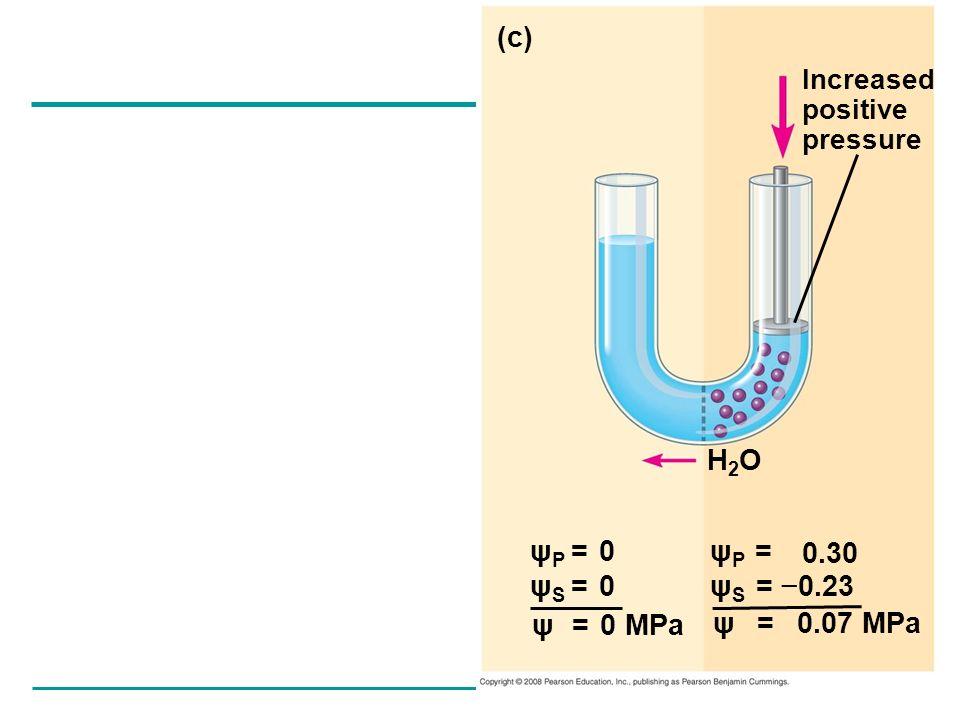 ψ P = ψ S = 0.23 (c) Increased positive pressure H2OH2O ψ = 0.07 MPa ψ P = 0 ψ S = 0 ψ = 0 MPa 0.30