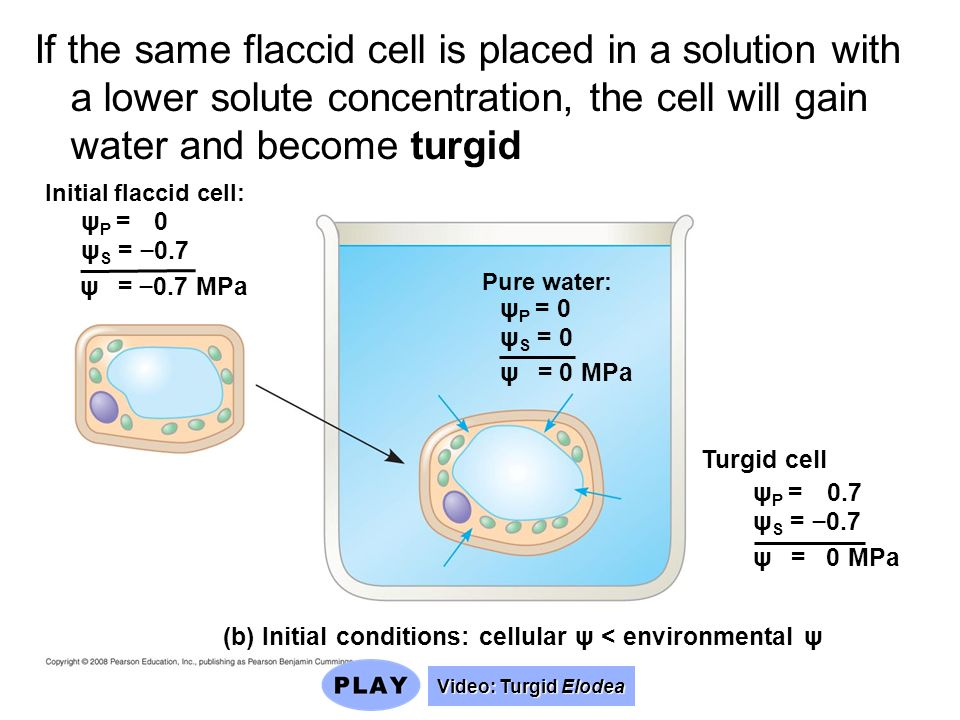 ψ P = 0 ψ S = 0.7 Initial flaccid cell: Pure water: ψ P = 0 ψ S = 0 ψ = 0 MPa ψ = 0.7 MPa ψ P = 0.7 ψ S = 0.7 ψ = 0 MPa Turgid cell (b) Initial condit