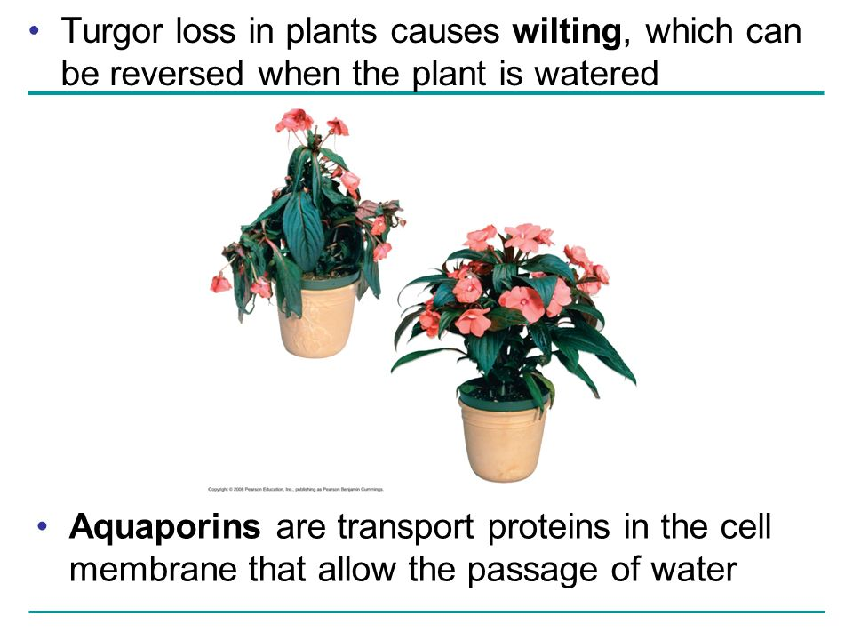 Turgor loss in plants causes wilting, which can be reversed when the plant is watered Aquaporins are transport proteins in the cell membrane that allo