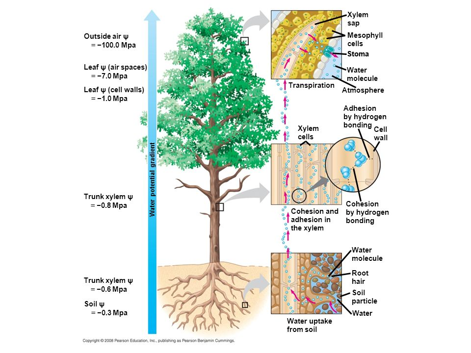 Outside air ψ = 100.0 Mpa Leaf ψ (air spaces) = 7.0 Mpa Leaf ψ (cell walls) = 1.0 Mpa Trunk xylem ψ = 0.8 Mpa Trunk xylem ψ = 0.6 Mpa Soil ψ = 0.3 Mpa Xylem sap Mesophyll cells Stoma Water molecule Transpiration Atmosphere Adhesion by hydrogen bonding Cell wall Xylem cells Cohesion and adhesion in the xylem Cohesion by hydrogen bonding Water molecule Root hair Soil particle Water Water uptake from soil Water potential gradient