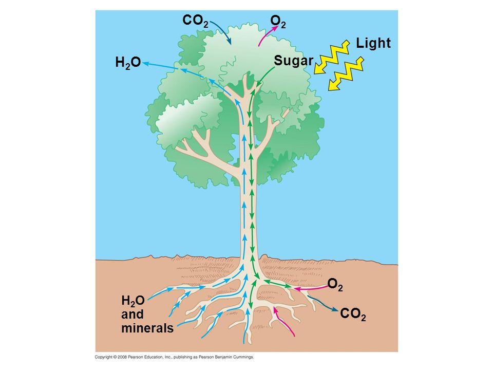 H2OH2O H 2 O and minerals CO 2 O2O2 O2O2 Sugar Light