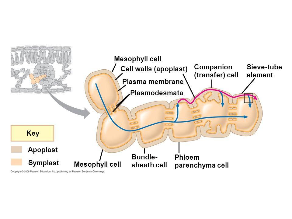 Key Apoplast Symplast Mesophyll cell Cell walls (apoplast) Plasma membrane Plasmodesmata Companion (transfer) cell Sieve-tube element Mesophyll cell Bundle- sheath cell Phloem parenchyma cell