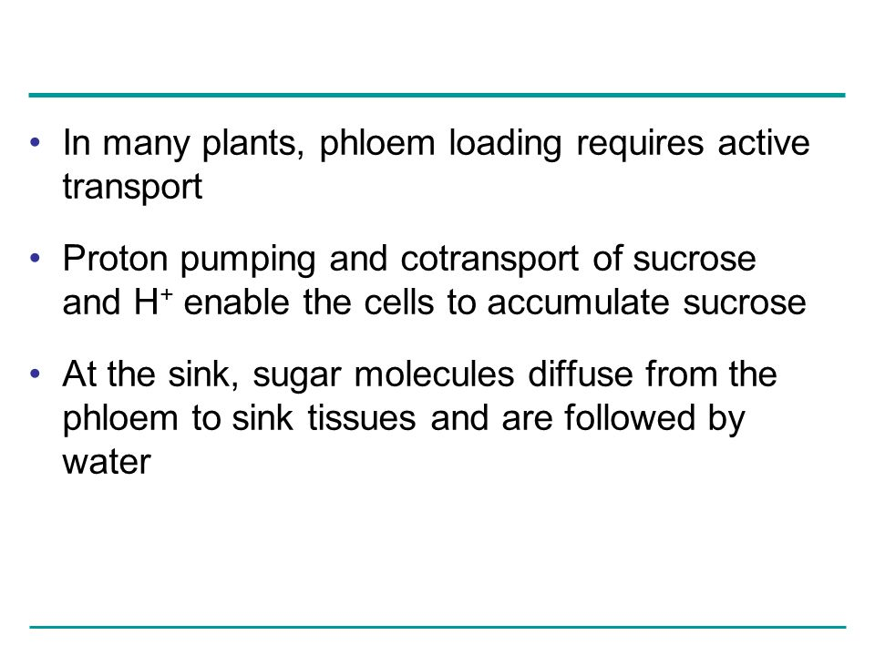 In many plants, phloem loading requires active transport Proton pumping and cotransport of sucrose and H + enable the cells to accumulate sucrose At t
