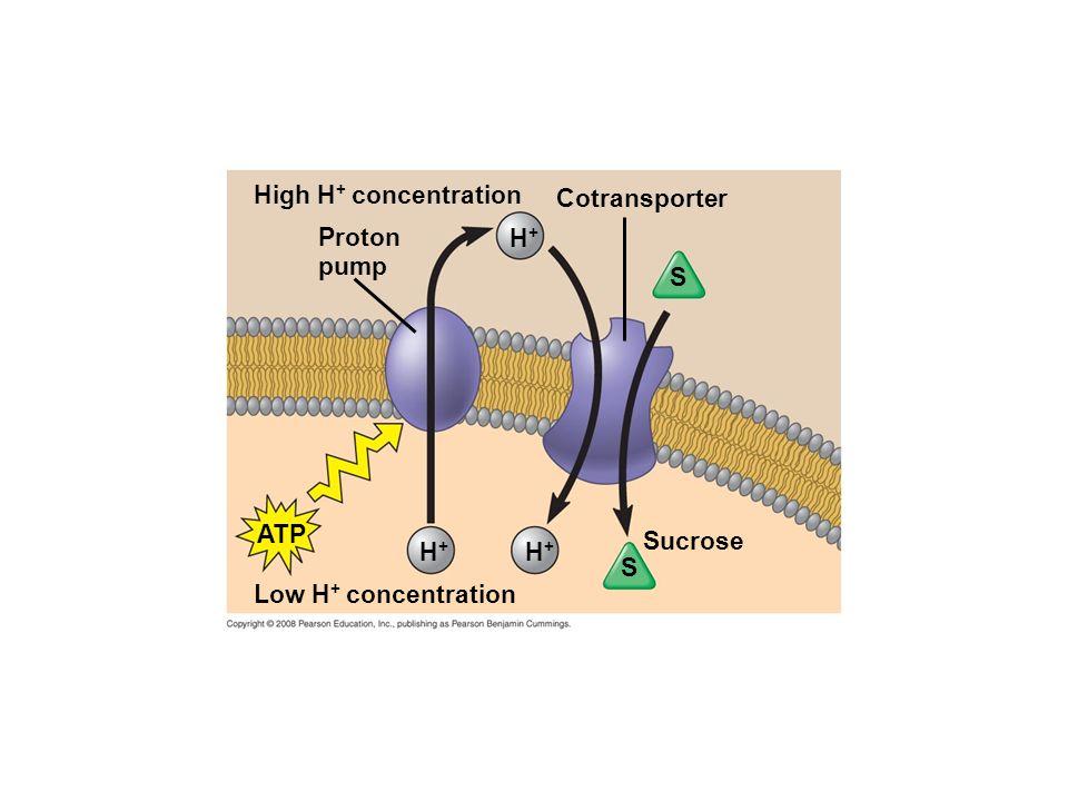 High H + concentration Cotransporter Proton pump Low H + concentration Sucrose H+H+ H+H+ H+H+ ATP S S