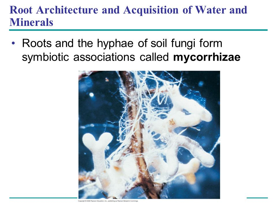 Root Architecture and Acquisition of Water and Minerals Roots and the hyphae of soil fungi form symbiotic associations called mycorrhizae