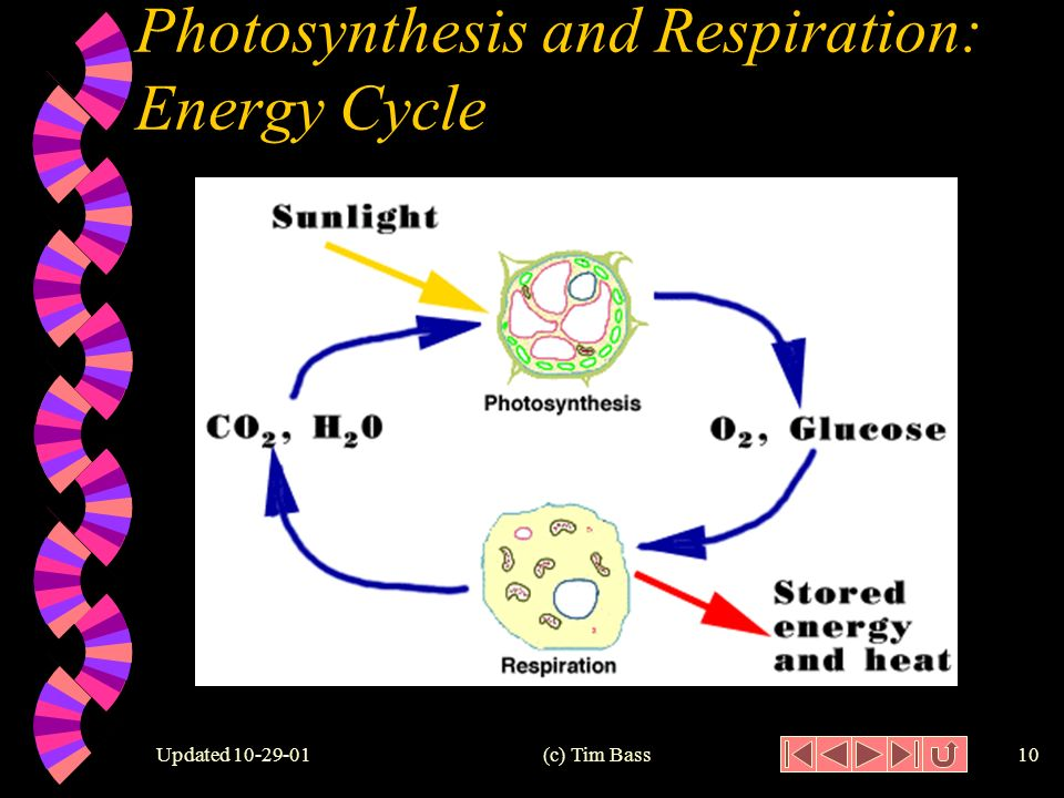 Updated (c) Tim Bass9 Respiration w The opposite of photosynthesis Plants and animals both use respiration.