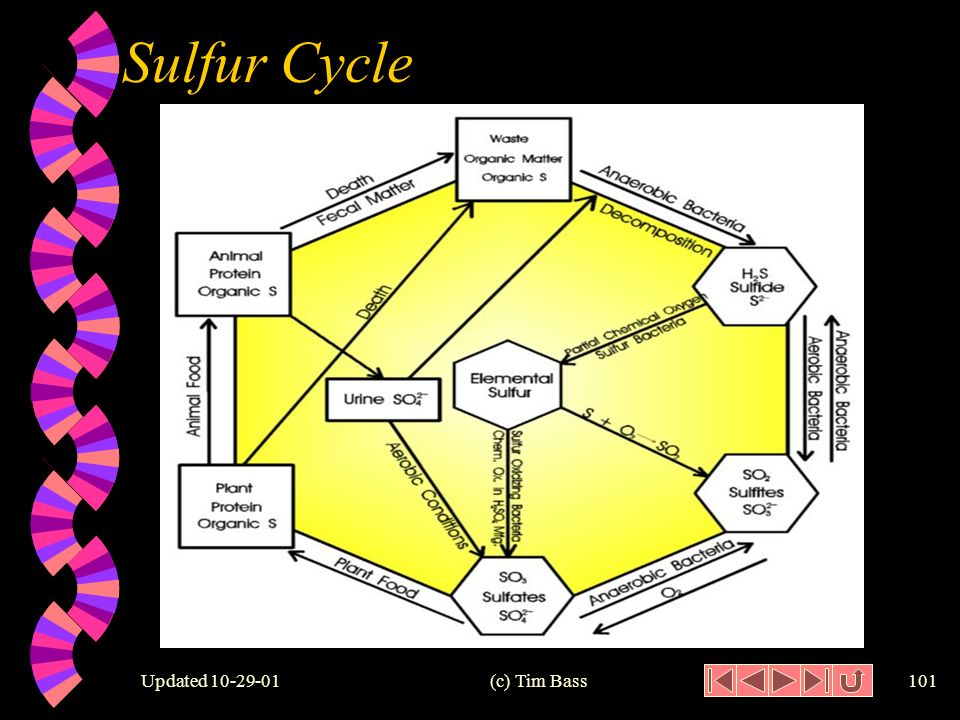 Updated (c) Tim Bass100 Sulfur Cycle w Major Components Assimilative reduction Release of -SH Oxidation of H 2 S Dissimilative reduction Anerobic oxidation