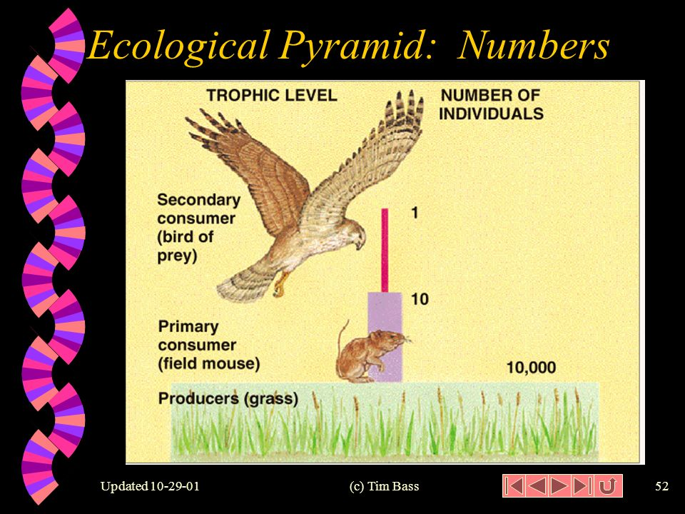 Updated (c) Tim Bass51 Ecological Pyramid: Numbers 300,000 30,000 3,000