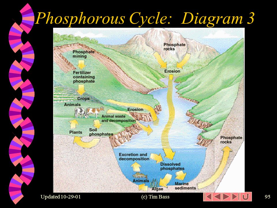 Updated (c) Tim Bass94 Phosphorous Cycle: Diagram2