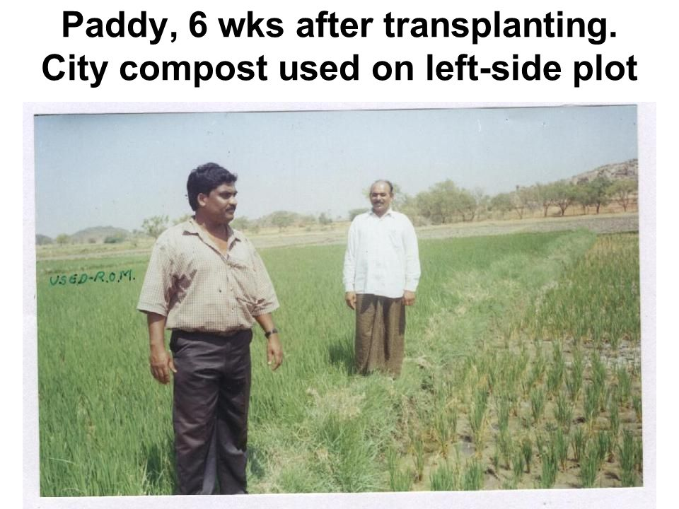 Paddy, 6 wks after transplanting. City compost used on left-side plot
