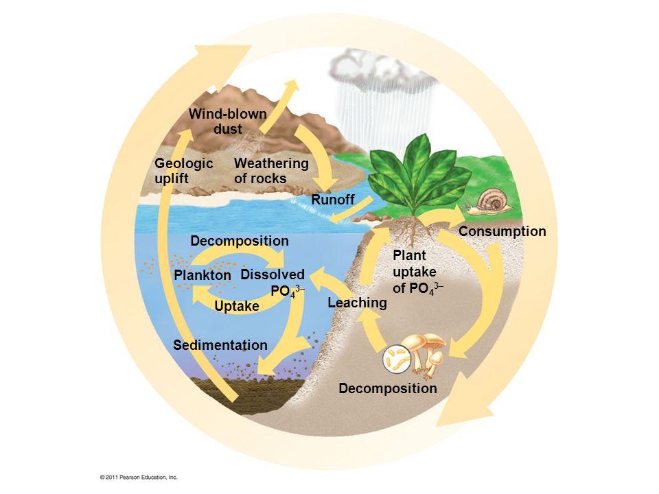 Geologic uplift Wind-blown dust Weathering of rocks Consumption Runoff Decomposition Leaching Sedimentation Plant uptake of PO 4 3– Dissolved PO 4 3– Plankton Uptake