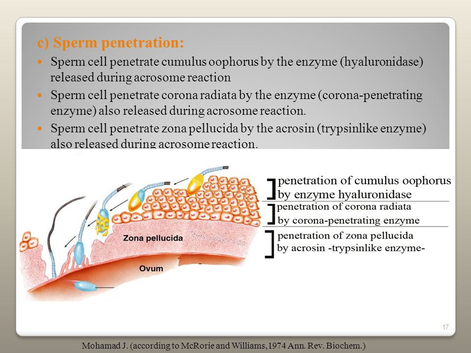 17 c) Sperm penetration: Sperm cell penetrate cumulus oophorus by the enzyme (hyaluronidase) released during acrosome reaction Sperm cell penetrate co