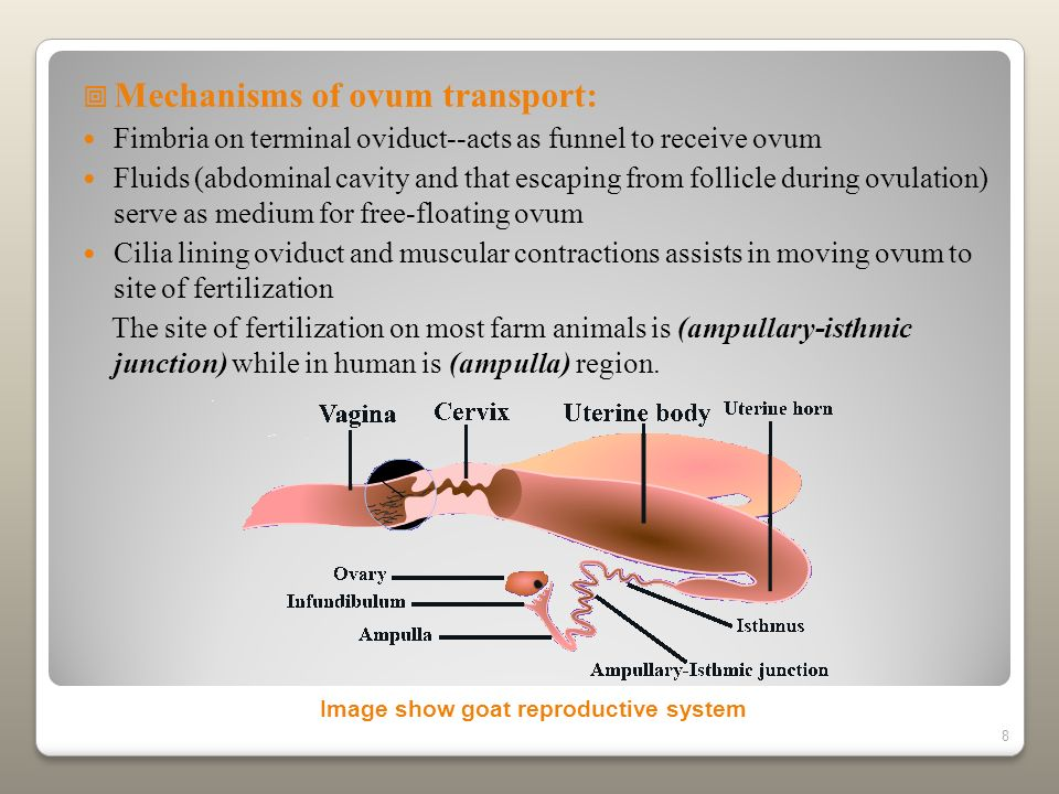 8 Mechanisms of ovum transport: Fimbria on terminal oviduct--acts as funnel to receive ovum Fluids (abdominal cavity and that escaping from follicle d