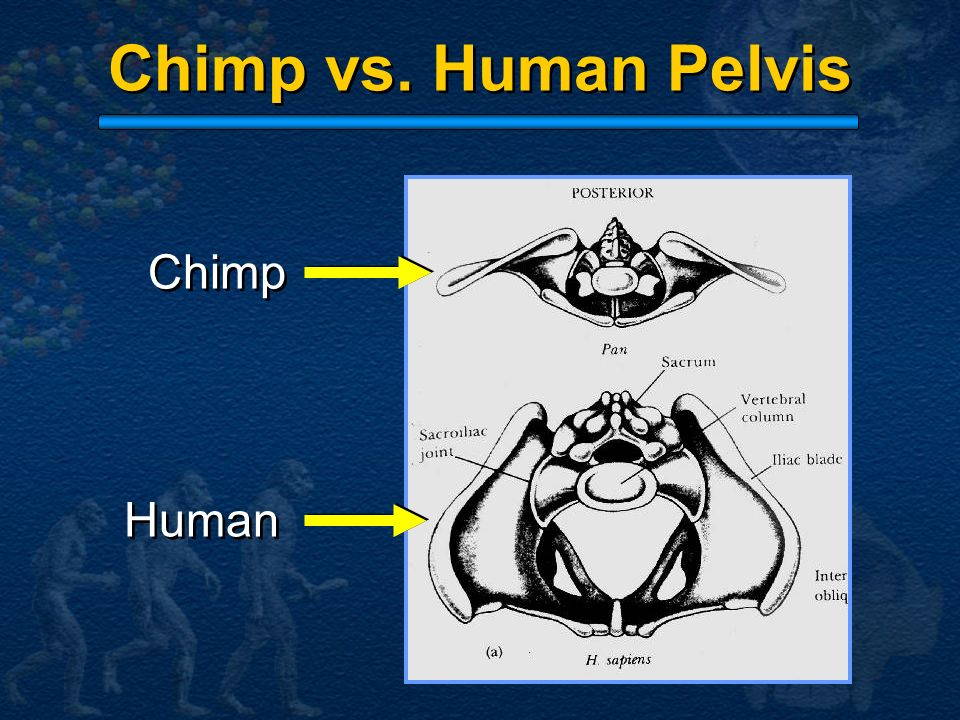 Chimp vs. Human Pelvis Chimp Human