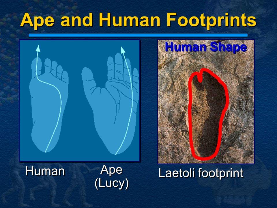 Ape and Human Footprints Ape (Lucy) Ape (Lucy) Human Laetoli footprint Human Shape