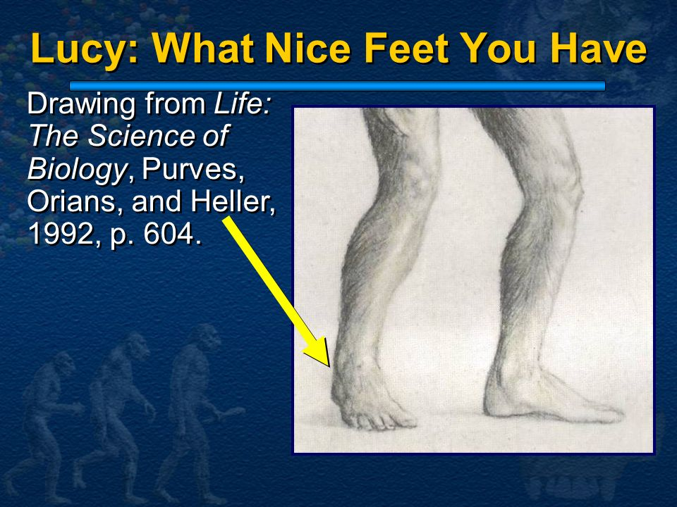 Drawing from Life: The Science of Biology, Purves, Orians, and Heller, 1992, p. 604. Lucy: What Nice Feet You Have
