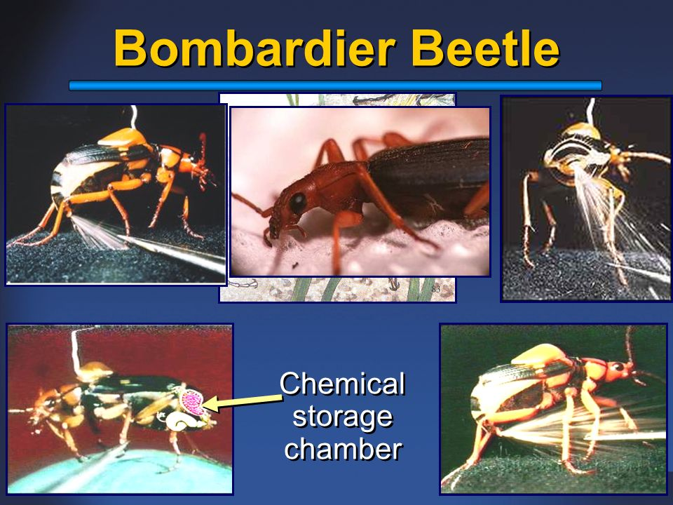 Bombardier Beetle Chemical storage chamber