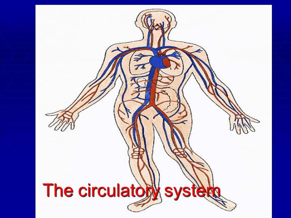 Circulatory System The circulatory system is the transport system found in mammals.