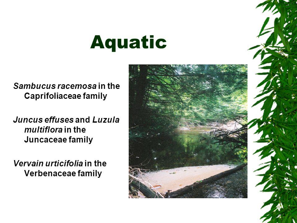 Aquatic Sambucus racemosa in the Caprifoliaceae family Juncus effuses and Luzula multiflora in the Juncaceae family Vervain urticifolia in the Verbenaceae family