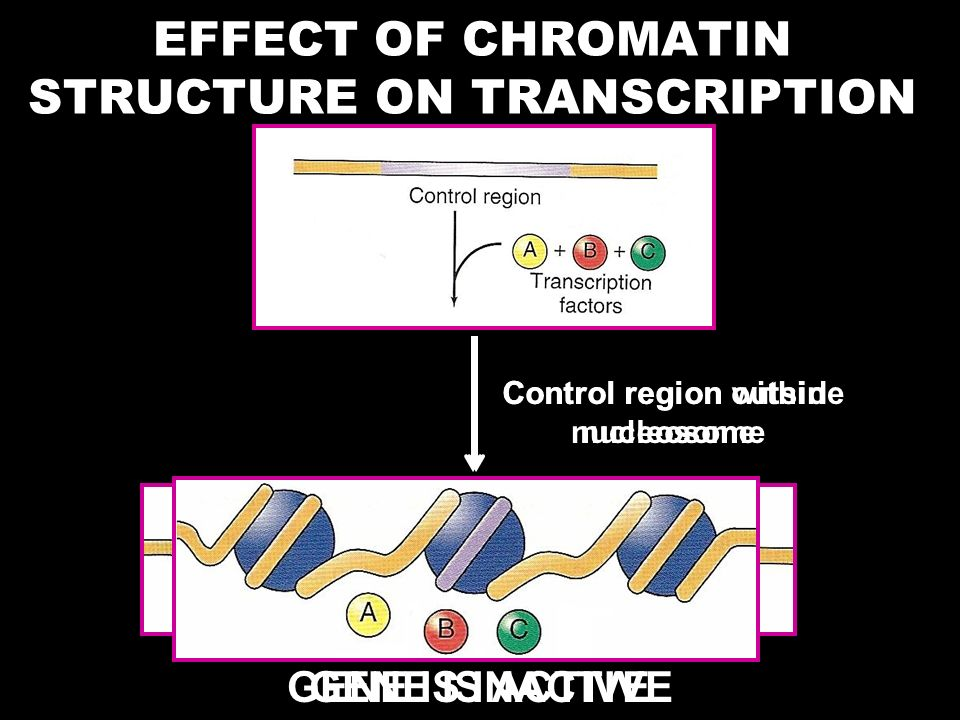 EFFECT OF CHROMATIN STRUCTURE ON TRANSCRIPTION Control region outside nucleosome GENE IS ACTIVE Control region within nucleosome GENE IS INACTIVE
