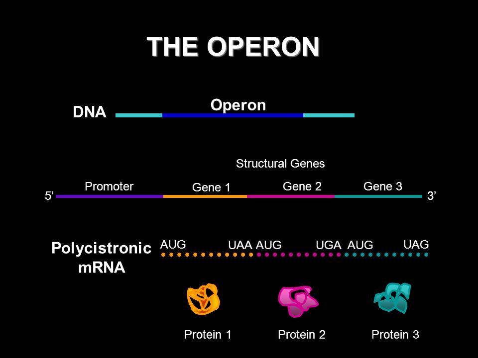 REPRESSORS 3 mRNA Promoter Gene 1 Gene 2Gene 3 5 Operator No transcription No protein products Regulatory gene Repressor RNA polymerase