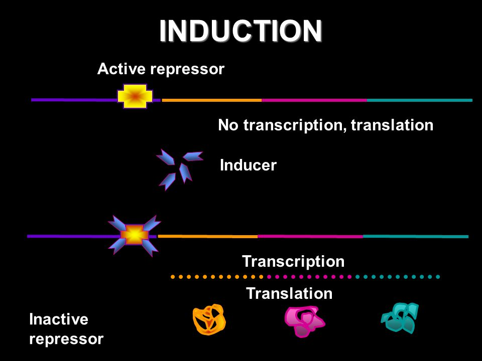 INDUCTION Inducer Inactive repressor Active repressor No transcription, translation Transcription Translation