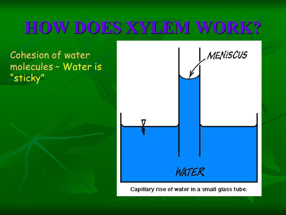 HOW DOES XYLEM WORK? Cohesion of water molecules – Water is sticky