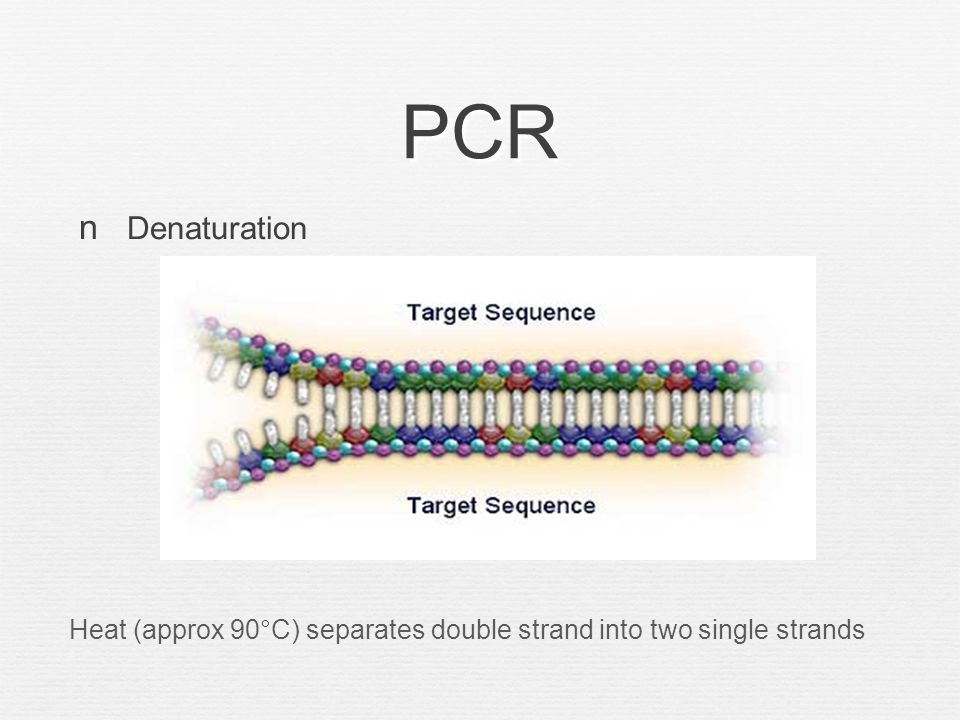 PCR Annealing Primer binding to individual strands (occurs at 45 to 60°C)
