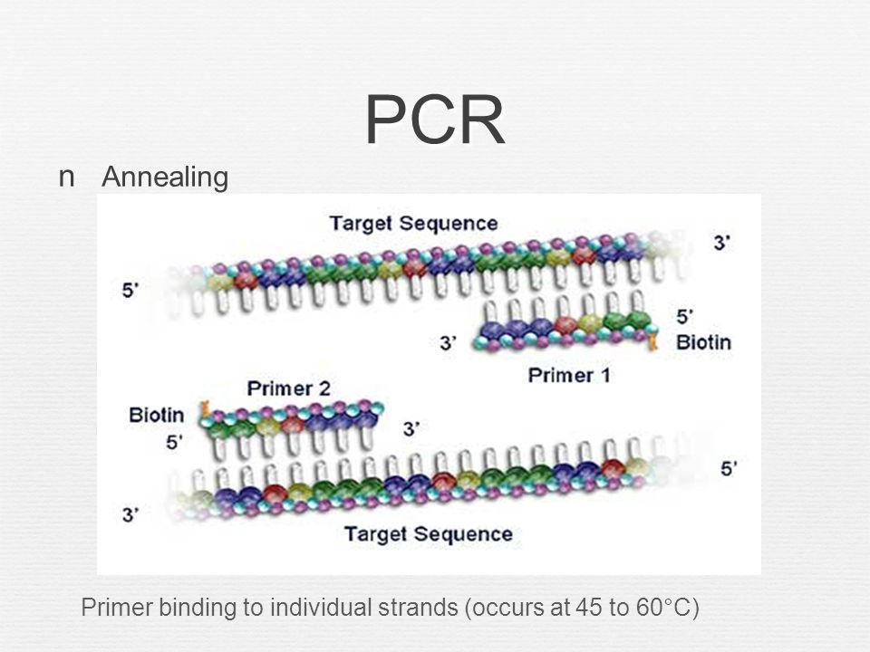 PCR Extension Temperature raised to 72°C and the Tag DNA polymerase enzyme is used to replicate DNA strands
