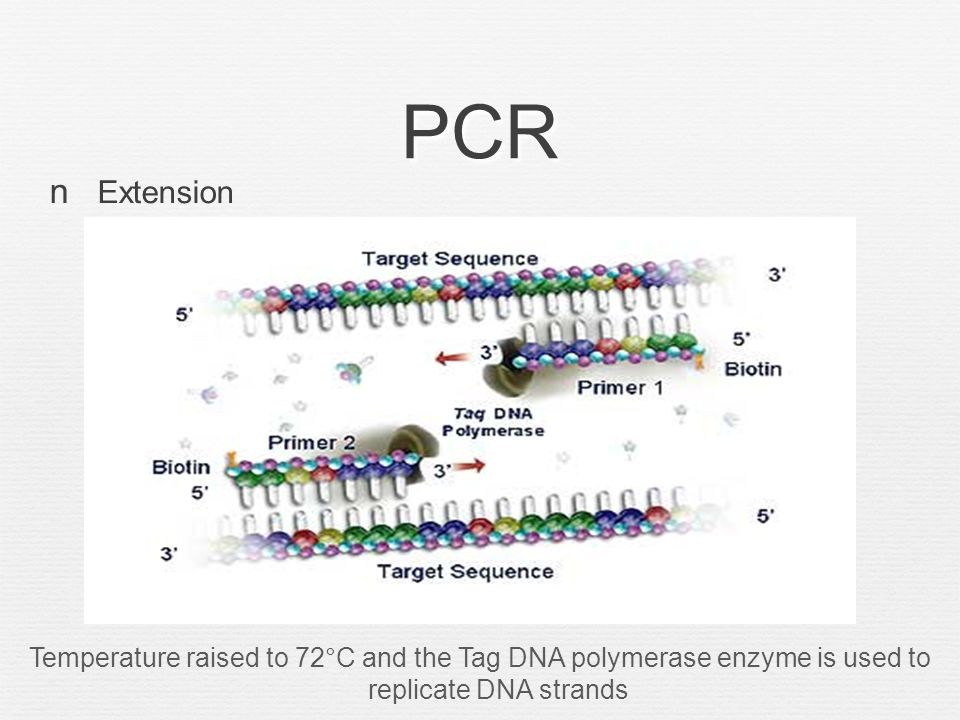 PCR End of First Cycle Process repeated for approximately 30 to 40 cycles.