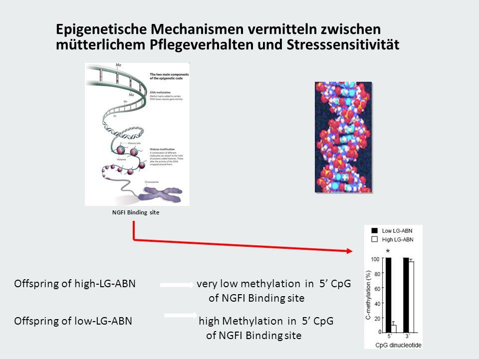 Epigenetische Mechanismen vermitteln zwischen mütterlichem Pflegeverhalten und Stresssensitivität NGFI Binding site Offspring of high-LG-ABN very low