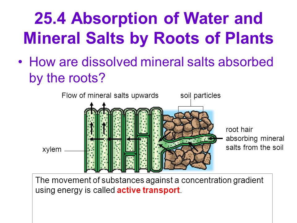 Osmosis in Plant Roots 25 4 Absorption of Water And Mineral Salts by Roots of Plants How Are