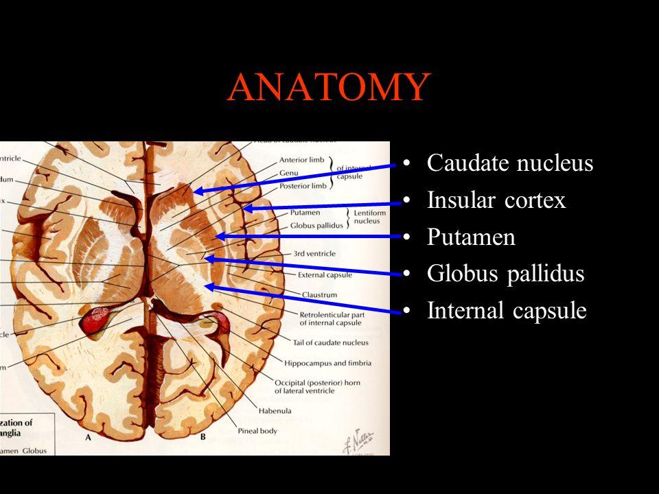 ANATOMY Caudate nucleus Insular cortex Putamen Globus pallidus Internal capsule
