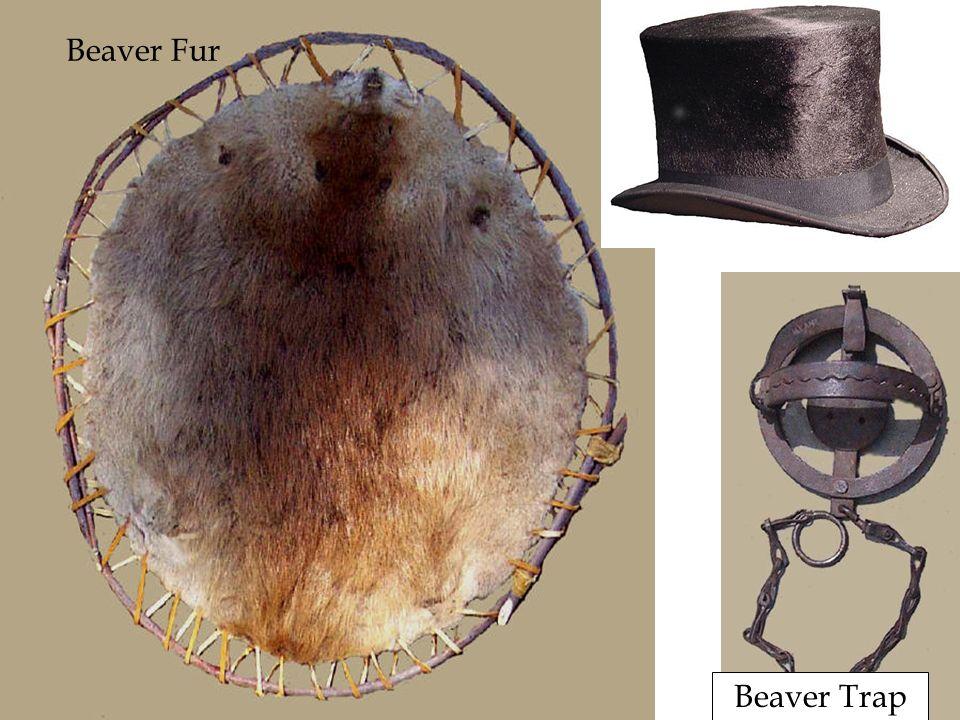 Beaver Fur Beaver Trap