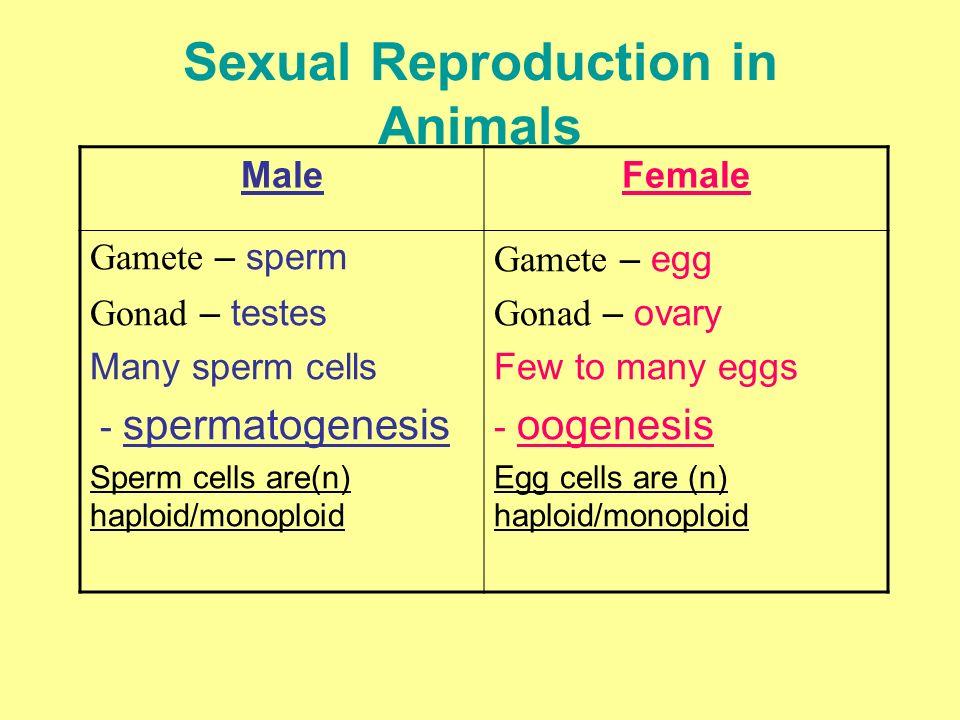 Sexual Reproduction in Animals MaleFemale Gamete – sperm Gonad – testes Many sperm cells - spermatogenesis Sperm cells are(n) haploid/monoploid Gamete