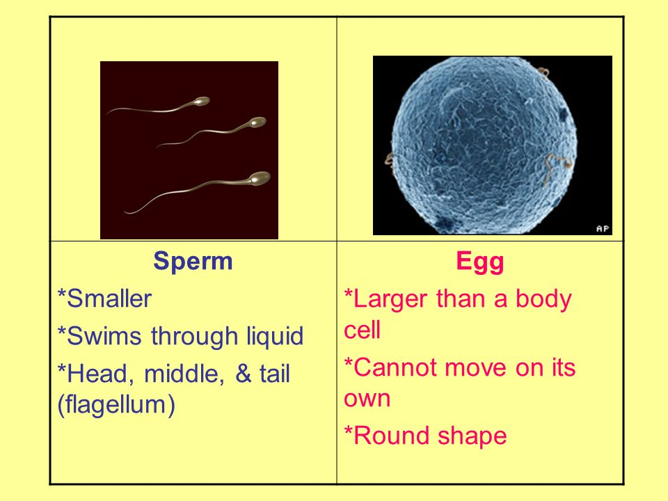 Sperm *Smaller *Swims through liquid *Head, middle, & tail (flagellum) Egg *Larger than a body cell *Cannot move on its own *Round shape