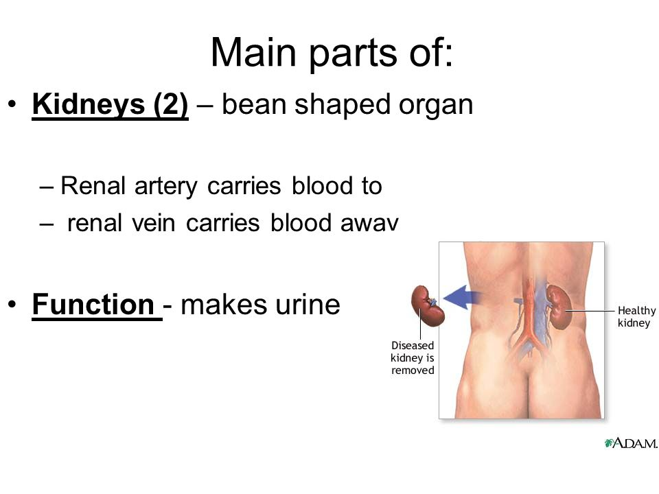 Main parts of: Kidneys (2) – bean shaped organ –Renal artery carries blood to – renal vein carries blood away Function - makes urine