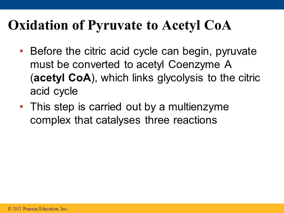 Oxidation of Pyruvate to Acetyl CoA Before the citric acid cycle can begin, pyruvate must be converted to acetyl Coenzyme A (acetyl CoA), which links