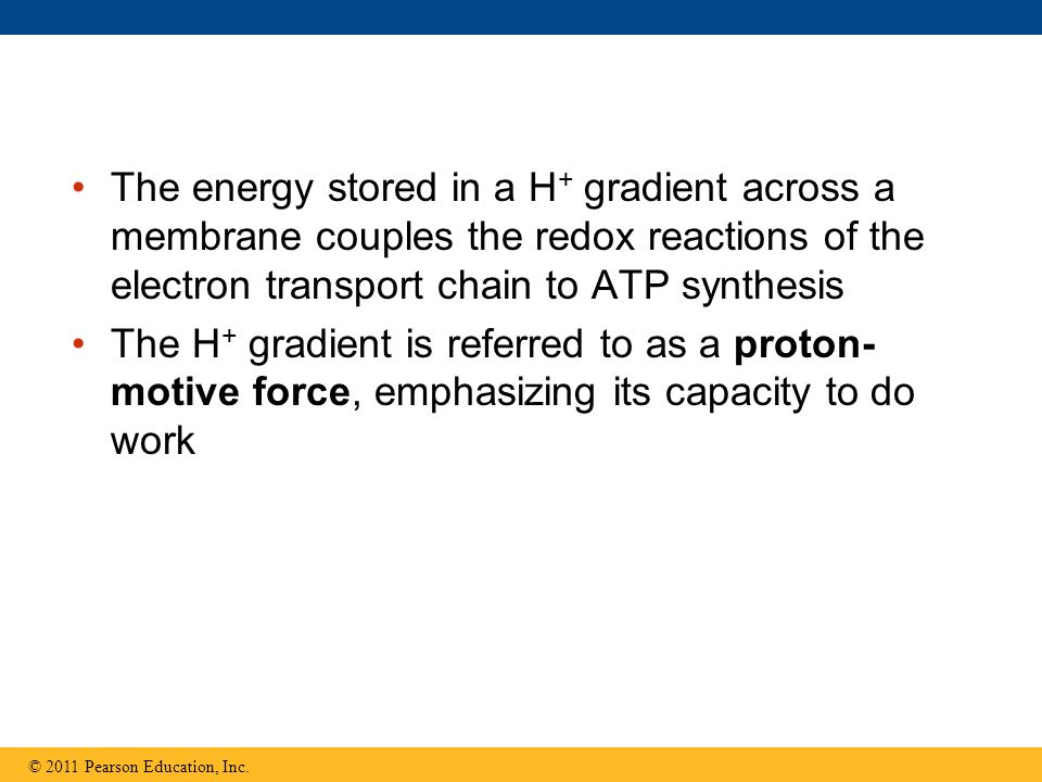 The energy stored in a H + gradient across a membrane couples the redox reactions of the electron transport chain to ATP synthesis The H + gradient is