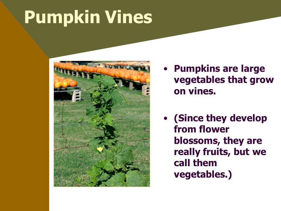 Pumpkin Vines Pumpkins are large vegetables that grow on vines.
