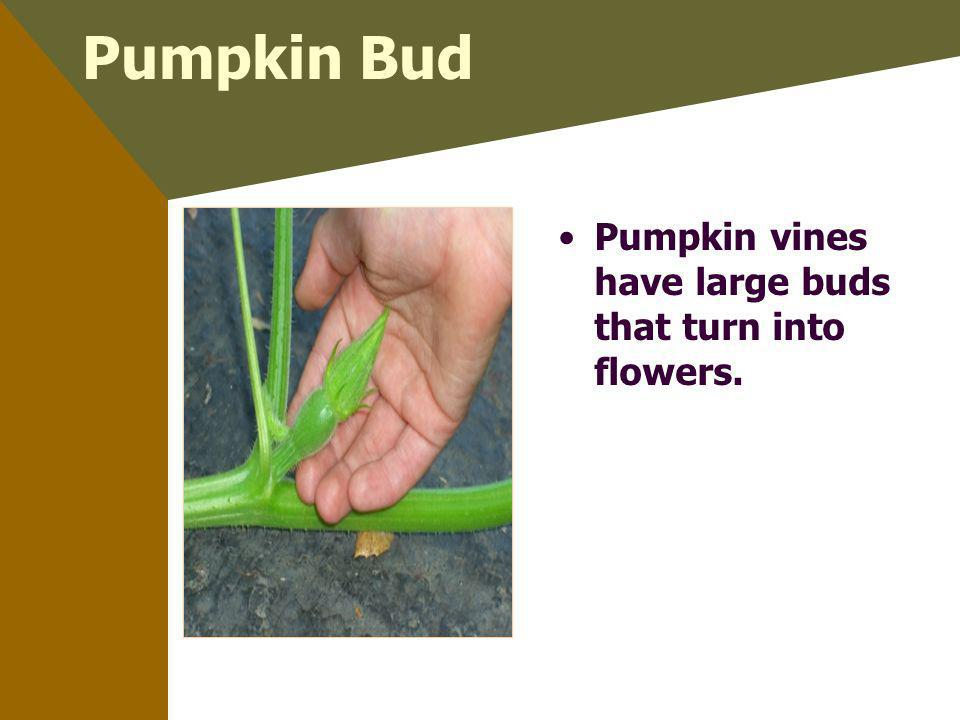 Pumpkin Bud Pumpkin vines have large buds that turn into flowers.