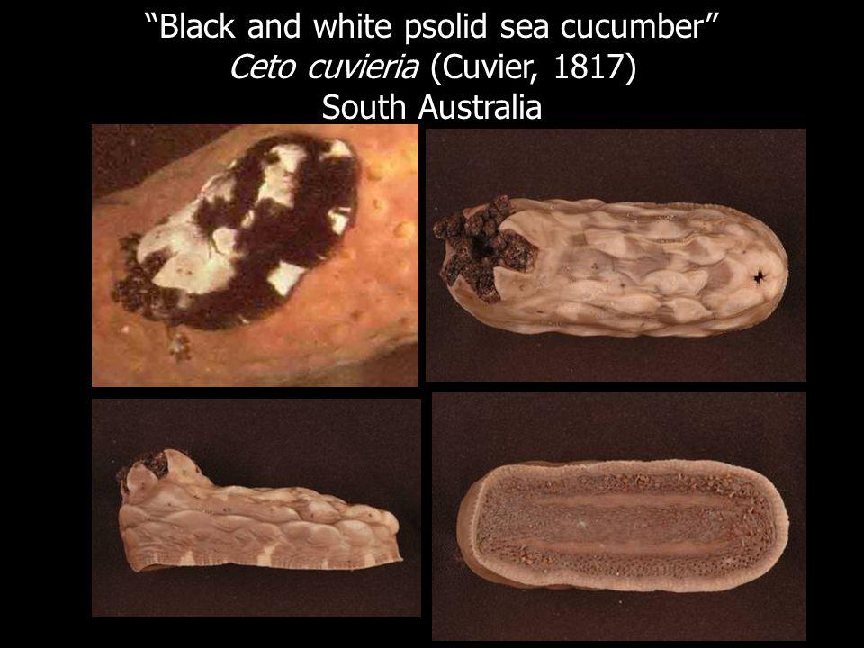Black and white psolid sea cucumber Ceto cuvieria (Cuvier, 1817) South Australia
