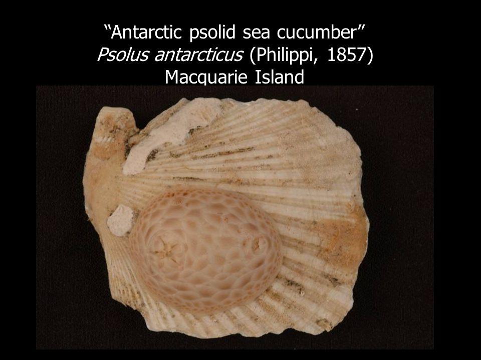 Antarctic psolid sea cucumber Psolus antarcticus (Philippi, 1857) Macquarie Island
