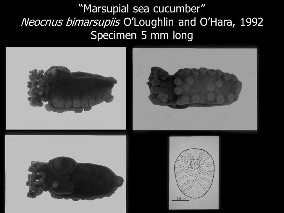 Marsupial sea cucumber Neocnus bimarsupiis OLoughlin and OHara, 1992 Specimen 5 mm long