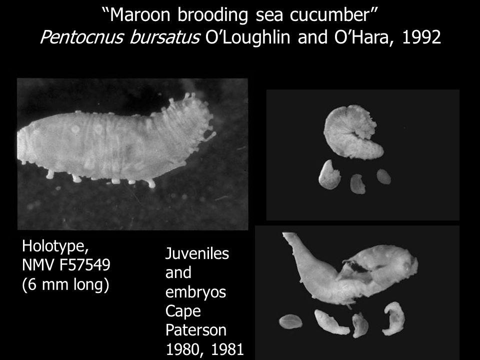 Maroon brooding sea cucumber Pentocnus bursatus OLoughlin and OHara, 1992 Holotype, NMV F57549 (6 mm long) Juveniles and embryos Cape Paterson 1980, 1
